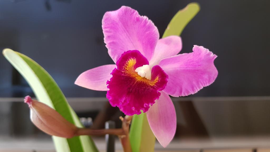 Is this Fusarium on dormant Cattleya eyes-cattleya-tim-treasure-pot-chatoyant-bloom-jpg