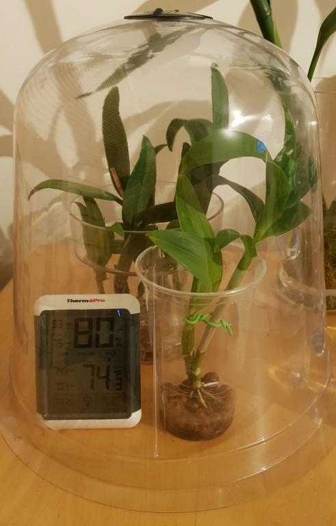 Repotting rescue/recovering orchid - Do I maintain the high humidity?-den-phal-humidity-dome-jpg
