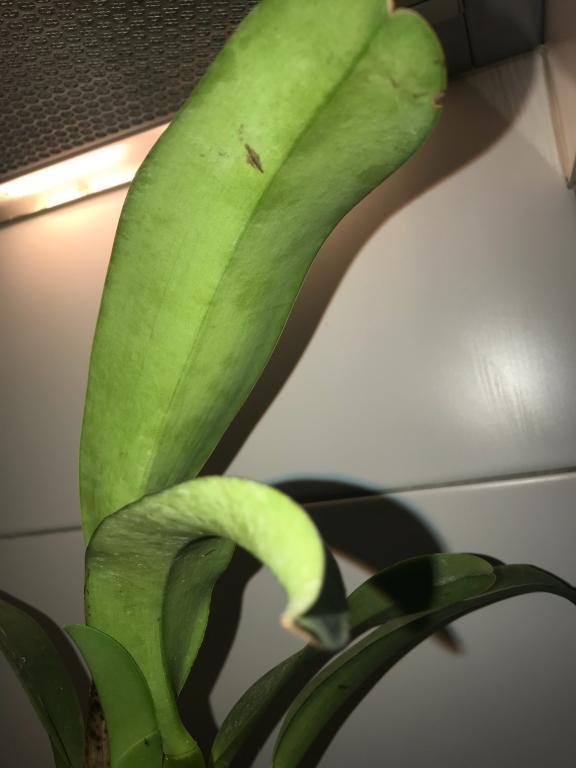 Mottled leaves underside - Cattleya-image-3-png-jpg