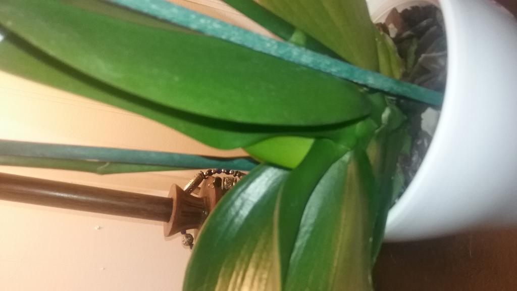 Weird thing growing inside orchid stem?-20181004_231142-jpg