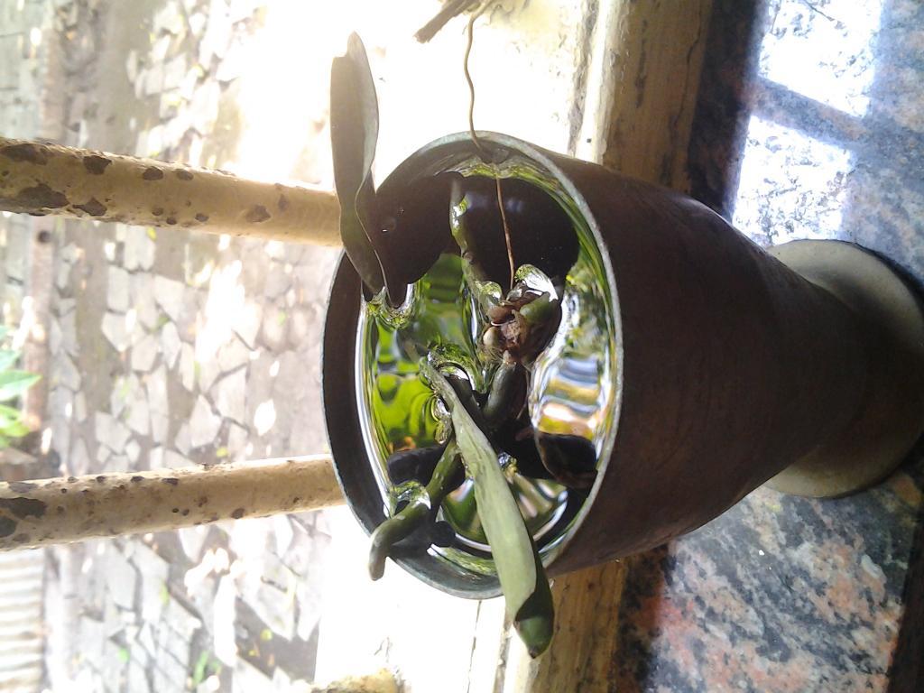 HELP! Pulled all leaves off baby vanda!-soaking-setup1-jpg
