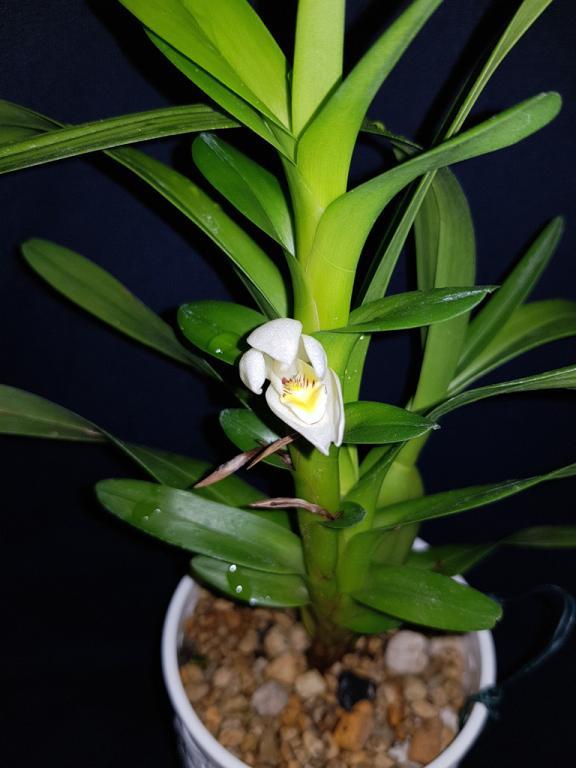Maxillaria camaridii-camaridii2-jpg