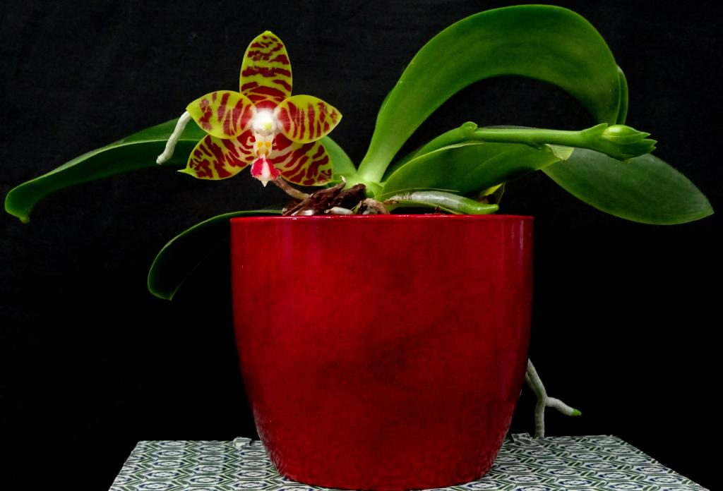 Phalaenopsis Yaphon Twisted Roll-orchids-phalaenopsis-yaphon-twisted-roll-jpg