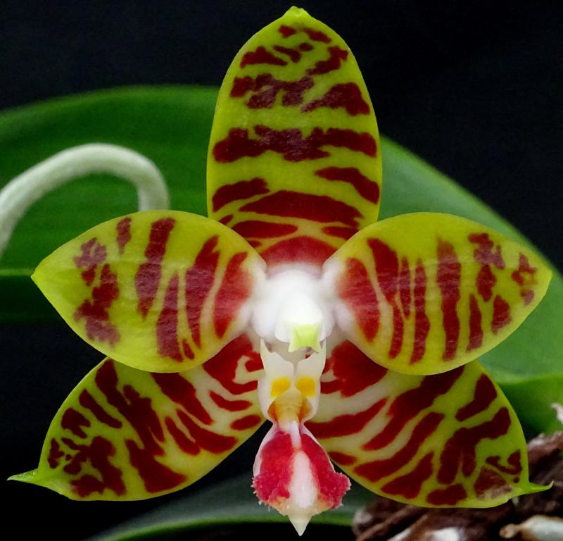 Phalaenopsis Yaphon Twisted Roll-orchids-phalaenopsis-yaphon-twisted-roll-001-jpg