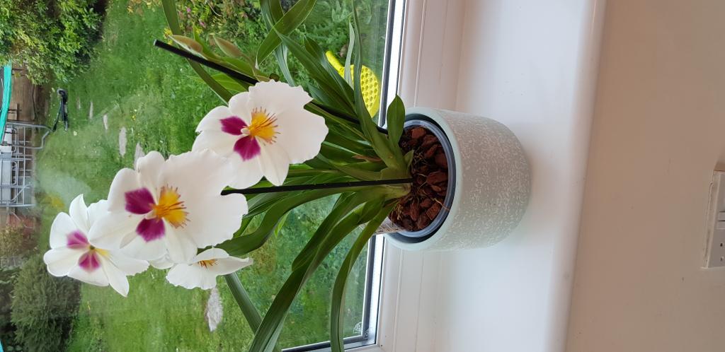 Why is my Miltonia (or is it Miltoniopsis??) always dry?-20180929_180722-jpg