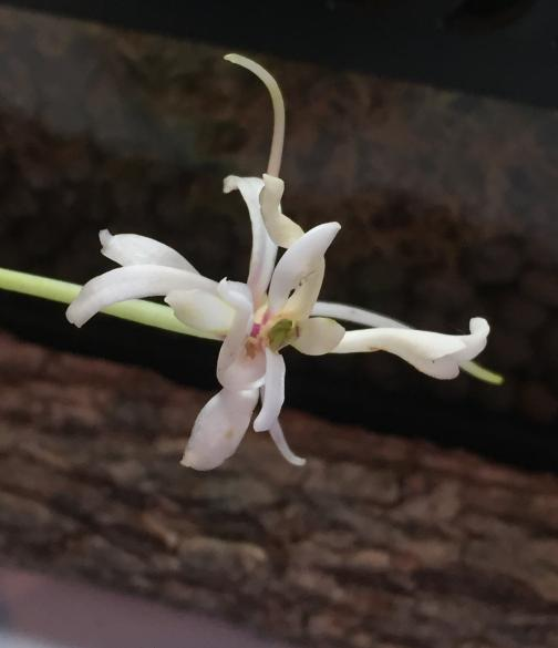 Neofinetia falcata Shunkyuden-8eddf4e8-8db6-461e-818c-904846159917-jpg