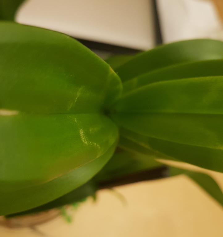 Is this Pests or Edema on new leaves?-den-phal-bumpsonnewleaves1-jpg