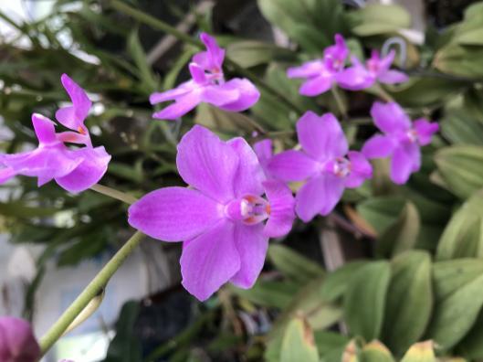 Phalaenopsis pulcherrima-097d8efe-01b9-453a-8d84-e89747e64c19-jpg