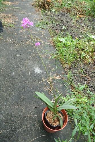 Phalaenopsis pulcherrima-dsc_9448-jpg