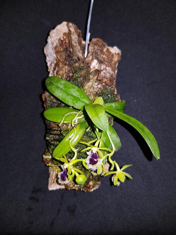 Haraella retrocalla in bloom streak.-hretrocalla-1-jpg