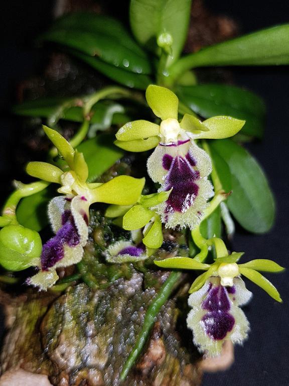 Haraella retrocalla in bloom streak.-hretrocalla-2-jpg