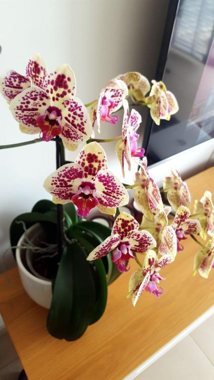 Orchid is too high, can I cut it in half?-d00a32e3-36b8-4391-bd5d-23181aa86b88-jpg