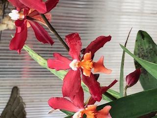 identification of orange orchid-img_0499-jpg