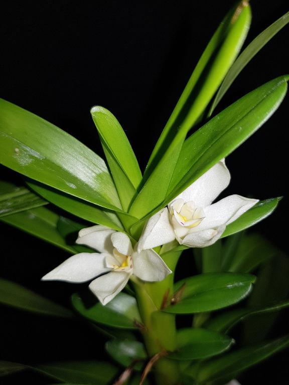 Maxillaria camaridii-camaridii1-jpg