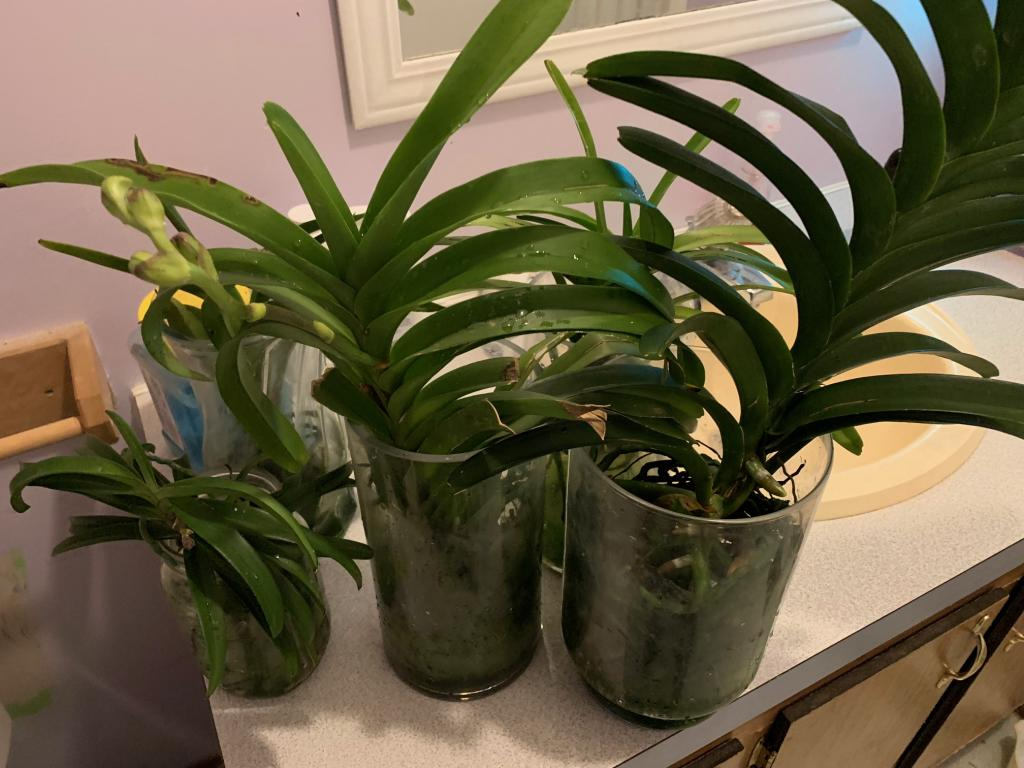 my vanda's finally telling me I am doing the right thing.-img_0172-jpg
