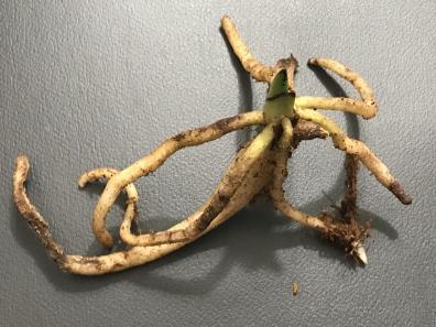 Platanthera ciliaris-platanthera-ciliaris-jpg