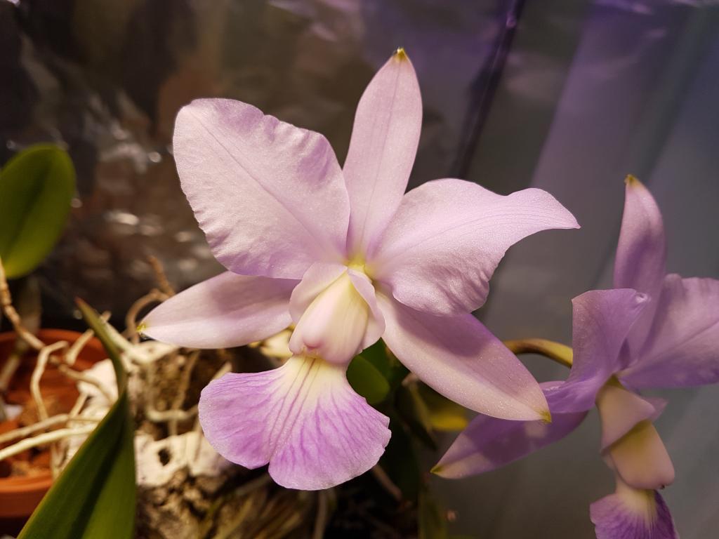 Cattleya walkeriana coerulea-cattleya-walkeriana-coerulea-jpg