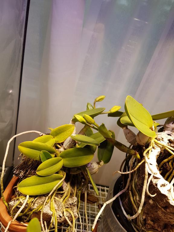 Cattleya walkeriana coerulea-20181024_161951-jpg