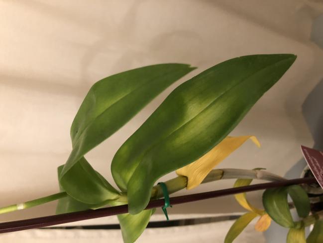 Dendrobium welting and yellowing-ca481b78-323a-4815-8408-8c91e2dfa1de-jpg