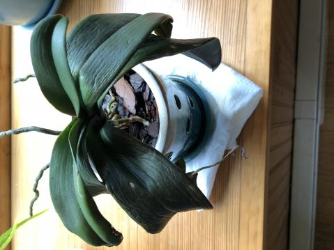 Bringing a Phalaenopsis orchid back to life-c9eec7d1-94df-44dc-a73f-0acb5e86c9b1-jpg