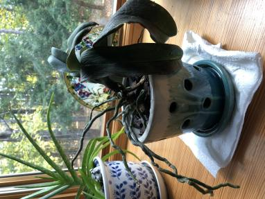 Bringing a Phalaenopsis orchid back to life-bca3abac-4dcc-4e94-bef0-1e86cf3069e2-jpg