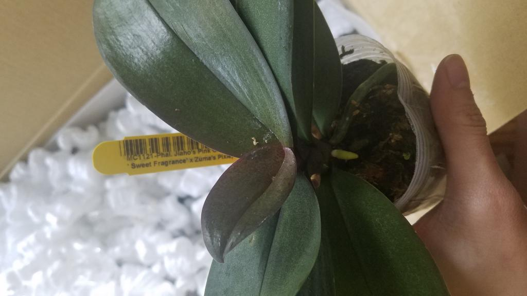 Norman's Orchids/Orchids.com sent beautiful phals-20181026_115042-jpg