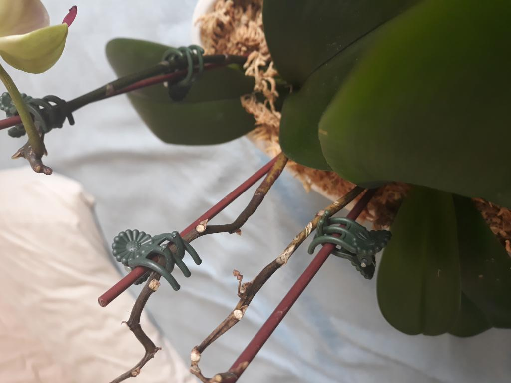 What is happening to my orchids?-15406889264711324177597-jpg