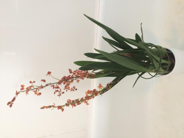 Over grown oncidium noid-365fc076-8284-4a23-bad4-5539741297f8-jpg