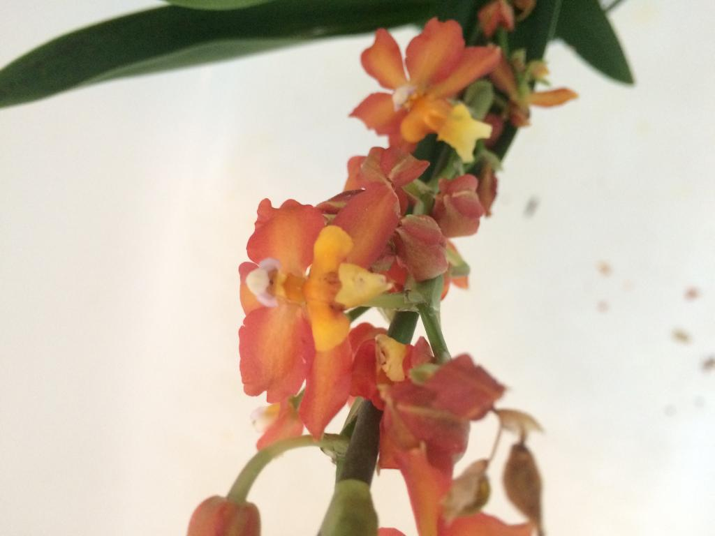Over grown oncidium noid-image-jpg
