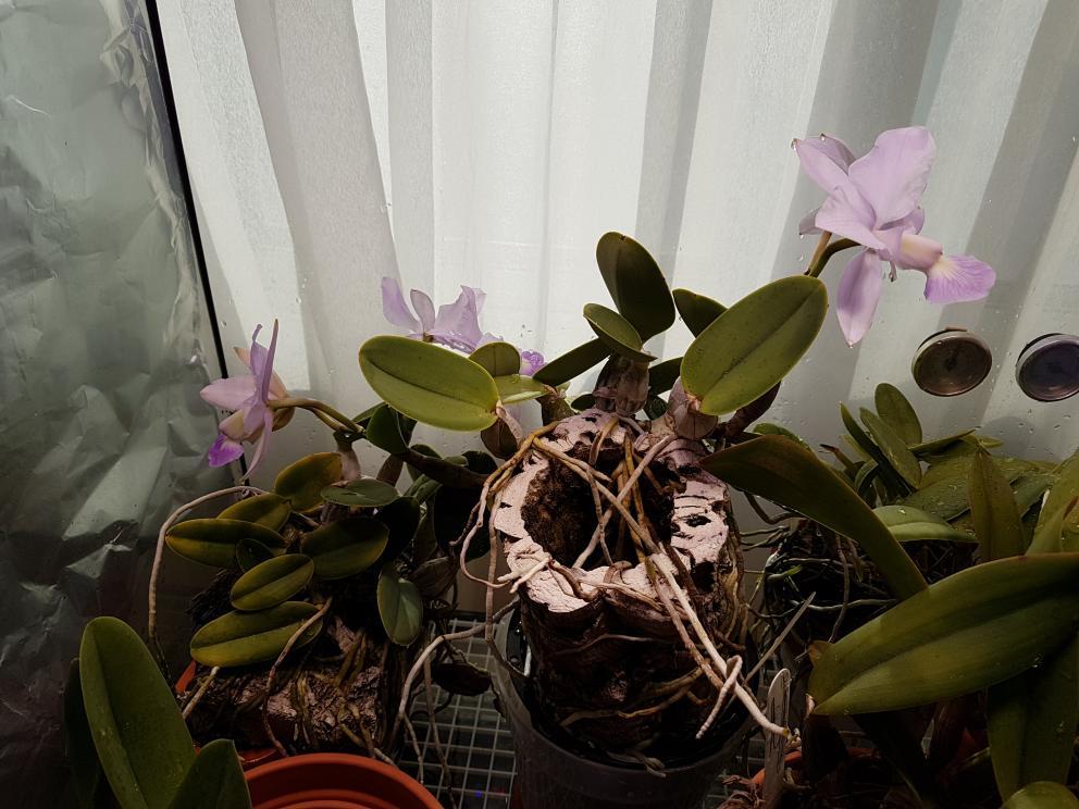 Cattleya walkeriana coerulea-cwc-jpg