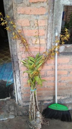 Dendroboium sec. spatulata ID?-plant-id-jpg