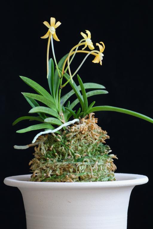 Neofinetia Kibana-img_orchids-2018-10-30-008-jpg