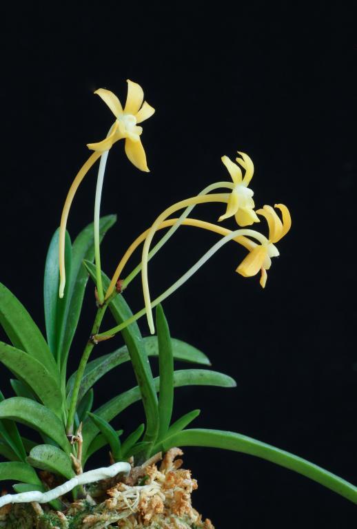 Neofinetia Kibana-img_orchids-2018-10-30-018-jpg