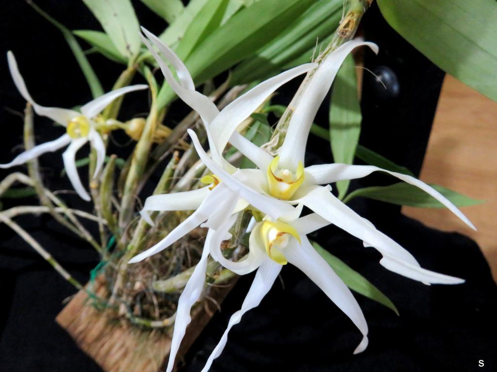 Dendrobium amboinense-denambo11181-jpg