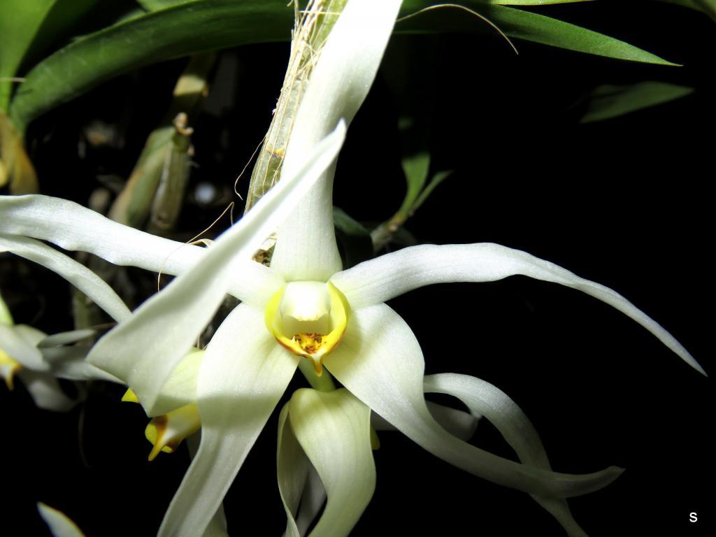 Dendrobium amboinense-denambo11182-jpg
