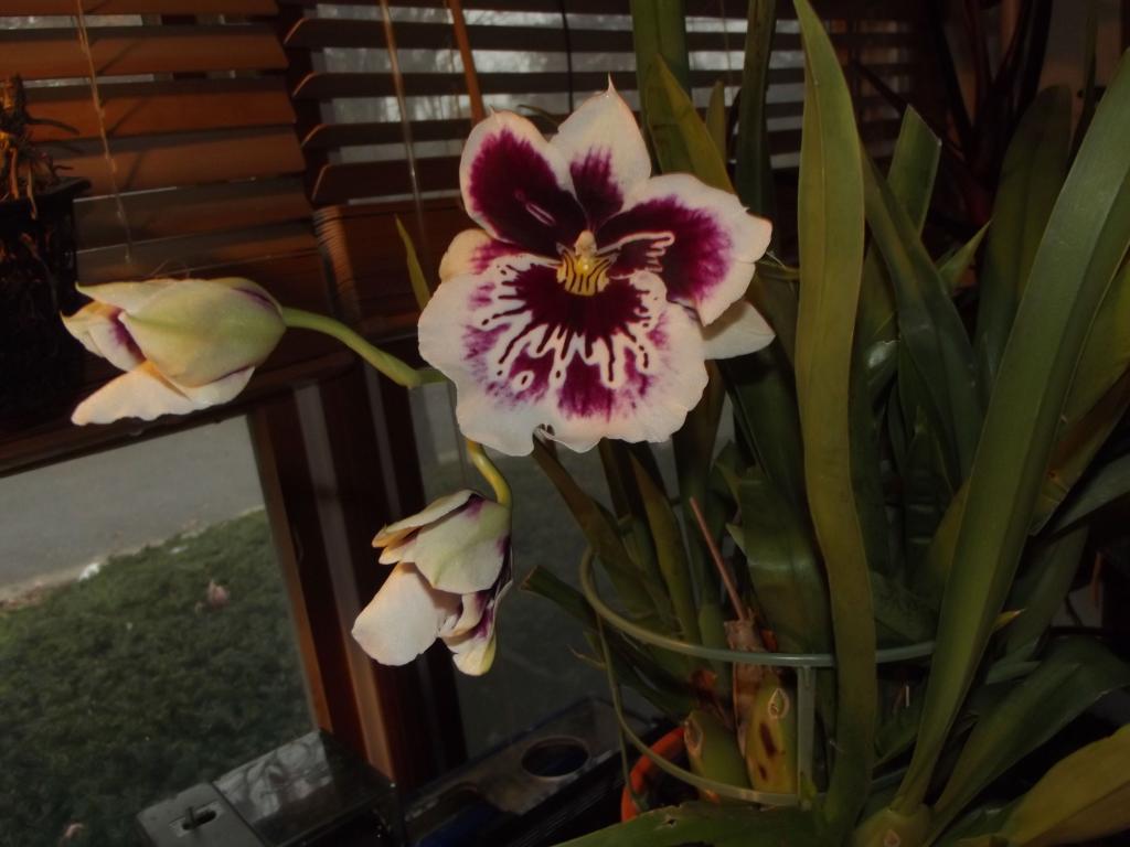 Miltonia just bloomed!-dscf4739-jpg