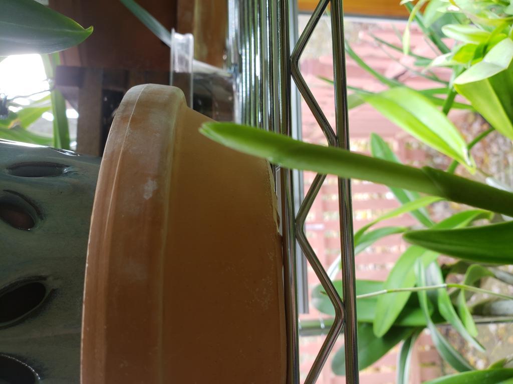 Epidendrum is growing, but no flower spike.-20181110_120848-jpg