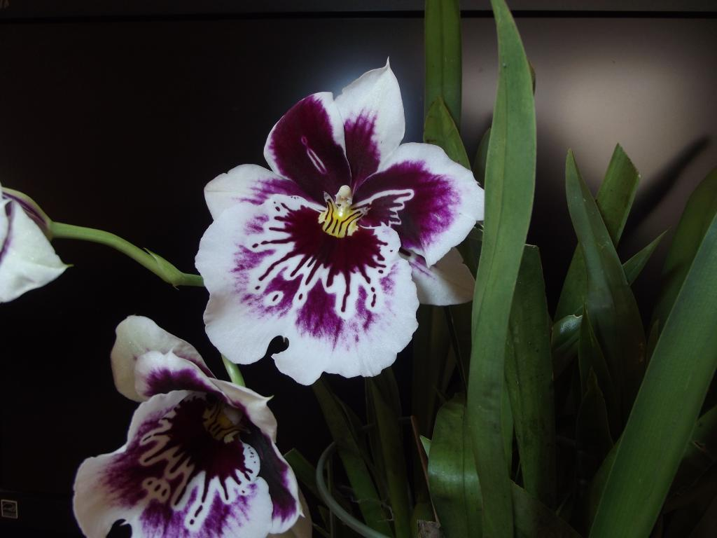 I think is Miltonia but what SPECIES?-miltonia1a-jpg