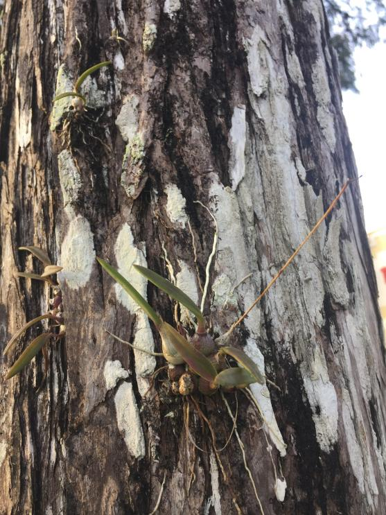 why do you grow orchids....?-enc_tampensis_noc2018_1-jpg
