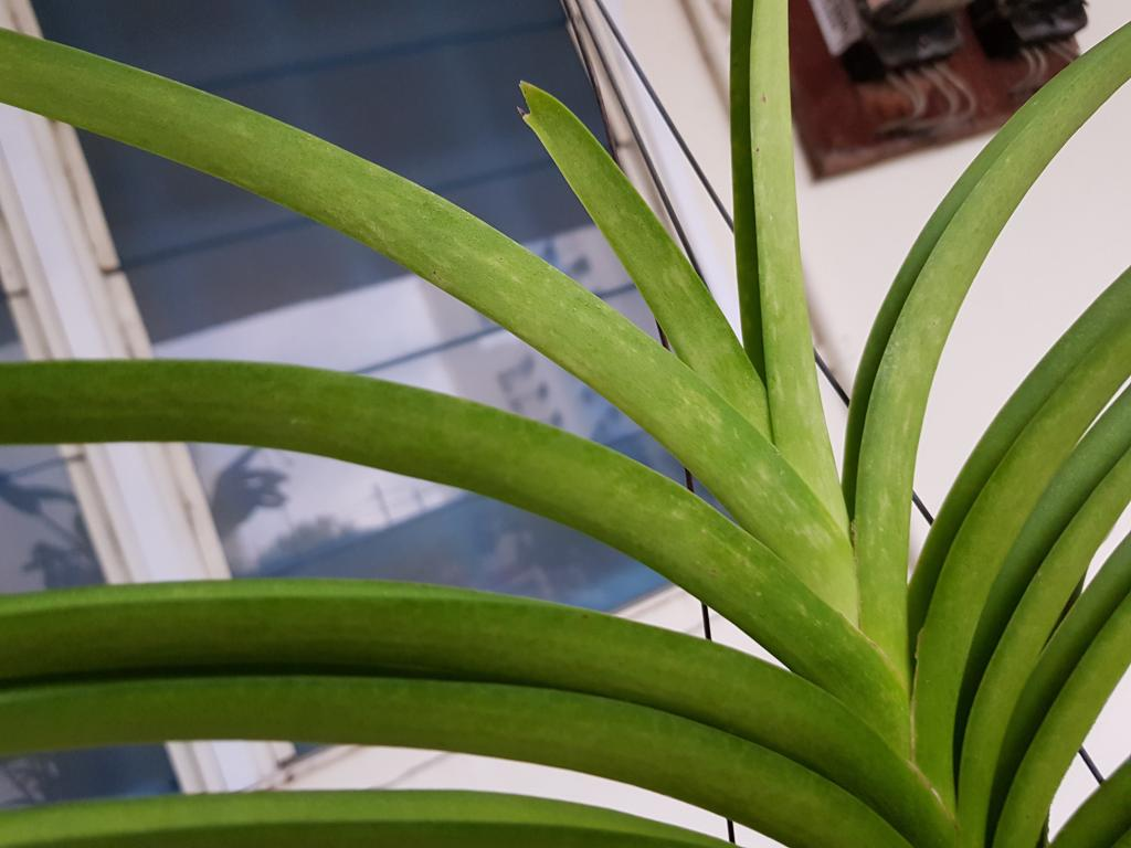 Vanda Mimi Palmer with yellowish streaks on leaves-20181119_071457-jpg