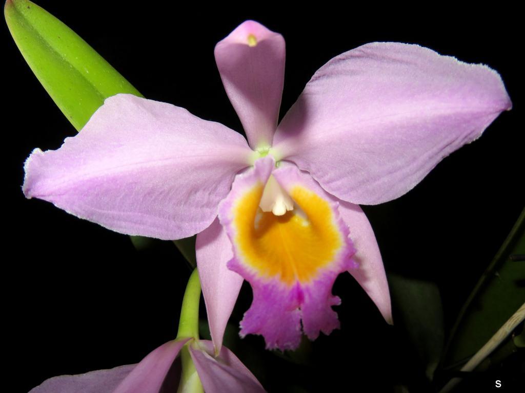 Cattleya wallisii-catwal11182-jpg