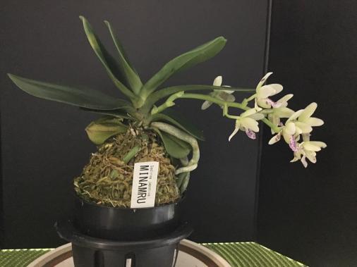 Sedeira (Phalaenopsis) japonica-27123fbe-caaa-462a-b260-53509f32fe9d-jpg