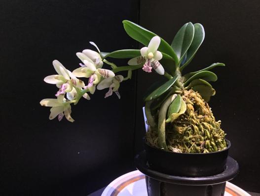Sedeira (Phalaenopsis) japonica-05083a09-7bdb-47df-b0de-42b9ca2d6b04-jpg