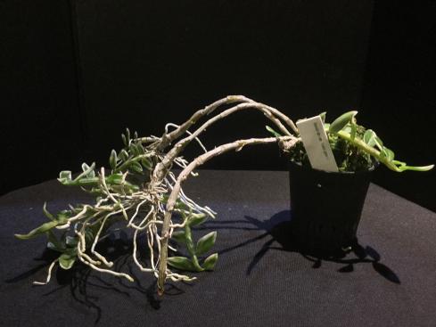 Dendrobium loddigesii-f87dd0b0-c2cd-469c-857a-f23140e27325-jpg