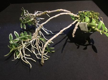 Dendrobium loddigesii-664355ad-0a7c-4c26-94b8-ddb00d0bd866-jpg