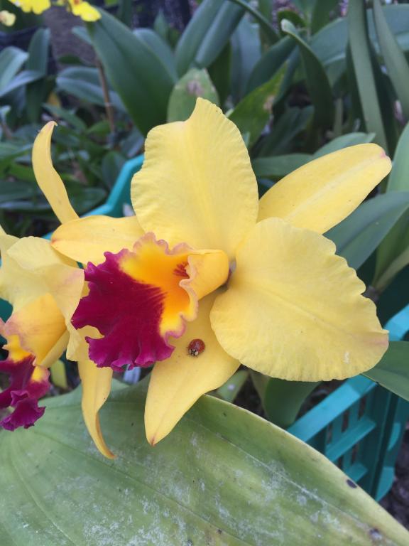 Nature's bug control-yellow_catt_lady_bug-jpg