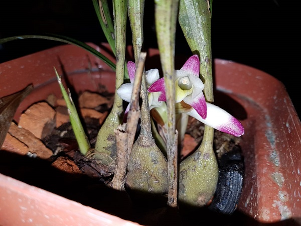 4 different orchid ID-3-jpg