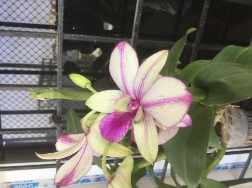 Dendrobium-dd3a969e-bb68-4a5b-beea-e1543492c580-jpg