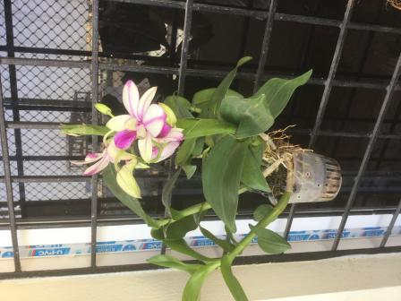 More pics of the Dendrobium-b80aa571-ed4c-4595-a413-b9eac5a7d7f7-jpg