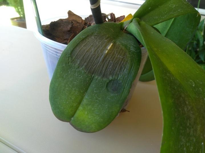 Phal diagnosis - is this bacterial rot-img_20181129_111621056r-jpg